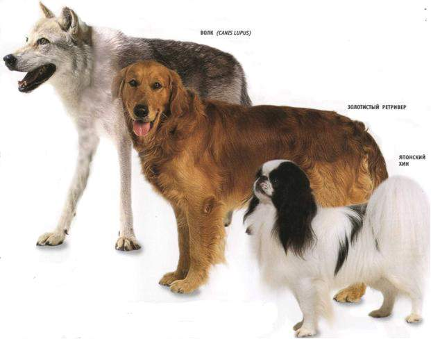 history of dogs History of the maltese dog overview where did the maltese come from and what are its origins the maltese breed has existed for at least 29 centuries dating back so far has caused a bit of debate as.